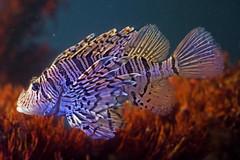 Gefhrlicher Federschmuck (big_banger) Tags: lionfish feuerfisch unterwasser wasser giftig