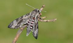 Convolvulus Hawk Moth  (Agrius convolvuli). (Bob Eade) Tags: moths seaford lepidoptera convolvulus convolvulushawkmoth eastsussex macro micro hawk nikond610 nature southdownsnationalpark