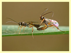 Ichneumonidae - Campopleginae spp. (PheCrew) Tags: macro closeup bug insect ichneumonidae soken phecrew unlimitedinsectslevel1 campopleginaespp