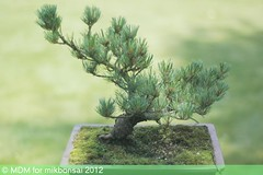 mikbonsai-9-august 281-2