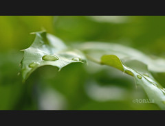 ilex aquifolium (ronjaa photography) Tags: plant macro green nature closeup germany leaf drops nikon pflanze july drop blatt 2012 tropfen ilex 105mm ilexaquifolium aquifolium ronjaa rubyinvite