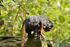 _DSC5592 (Omar Rodriguez Suarez) Tags: monkey mono monkeys apes apenheul primates simios tit goldenheadedliontamarin titcabezadelen