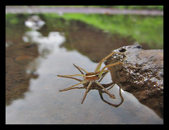 I can Float (Jayanand S.) Tags: waterspider