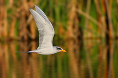 tern (Zahoor-Salmi) Tags: pakistan macro art nature animals trek canon photo tv google nikon flickr shot natural image action wildlife c watch fine pic national bbc punjab geographic wwf salmi brds discovry bhalwal zahoorsalmi panoramafotogrfico thewonderfulworldofbirds