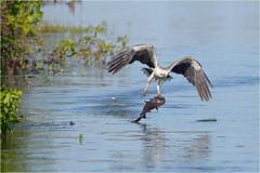 Paradise lost (audiodam) Tags: australianbirds australianwildlife whitebelliedseaeagle