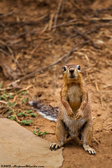 Interested Squirrel (Stefano.Minella) Tags: park wild two baby elephant male birds animal animals photoshop canon that soldier eos for this is photo bush buffalo squirrel holidays sitting with post kenya shots eating african year  some taken front days here went east safari most where national 7d crocodile l production they elephants usm impala interested anonymous ef f4 spent 41 tsavo protect 2012 stefano lightroom 70200mm savana minella cs6 minacious