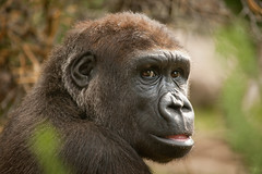 2012-08-23-11h05m51.272P9111 (A.J. Haverkamp) Tags: amsterdam zoo gorilla thenetherlands artis dierentuin shomari httpwwwartisnl dob12072007 canonef100400mmf4556lisusmlens pobamsterdamthenetherlands