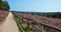Let's take a walk in the purple land (Kim van Dijk photography) Tags: road colour netherlands field landscape flora nikon purple path walk heather nederland lane hei veluwe posbank heide d90 nikond90 kimvandijk