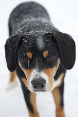Sage (Thaddz) Tags: winter dog snow puppy entlebucher entlebuchermountaindog