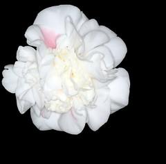 Camellia japonica cv. High Fragrance (sandy richard) Tags: gardens longisland plantingfields plantingfieldsarboretum sandyrichard sandrarichard