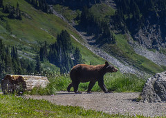 Bear! (pvdEric) Tags: bear washington mount rainier