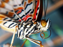 Leopard Lacewing (David Alexander Elder) Tags: david macro butterfly insect alien leopard elder alexander lacewing benalmadena mariposario butterfles colorphotoaward
