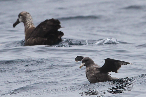 <p>A molting ad rather bedraggled dark morph Northern Fulmar looks puny near a Black-footed Albatross. There is great diversity out there, what a joy it is to be able to visit the birds of the California Current! </p>