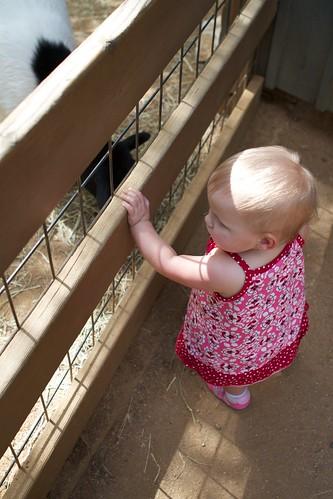Looking at the lambs