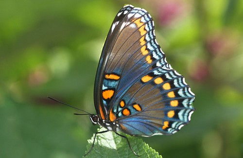 blue orange butterfly northcarolina mimic richmondcounty limenitisarthemis redspottedpurple thinfilminterference frequencywaves pipevineswallowtailmimic
