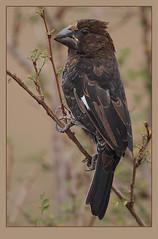 Grosbeak Weaver (Amblyospiza albifrons) (Rainbirder) Tags: nairobinationalpark grosbeakweaver amblyospizaalbifrons rainbirder
