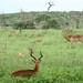 Impalas pra dar com o pe