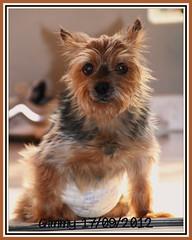 Il mio Gimmy non c' pi - Sono distrutta (scatti_sc Silvia) Tags: dog yorkshireterrier cani animalidacompagnia