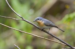 Leaden Flycatcher 2 Female (Jodi Watt) Tags: nature birds australianbirds leadenflycatcher