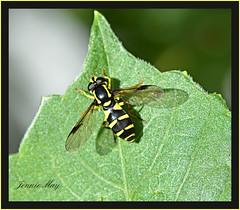Xanthogramma pedissequum (jenniemay2011) Tags: nikon insects flies hoverfly pollinator waspmimic xanthogrammapedissequum d5100 jenniemay