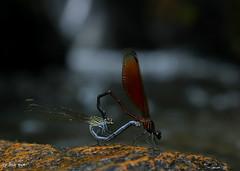 Euphaea ochracea / แมลงปอเข็มน้ำตกสีตาลแดง