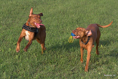 _MG_5795 (holdrioo_ch) Tags: dog playing dogs animal animals tiere vizsla hund alvaro moca hunde tier mocca labradormix dogsinaction playingdogs