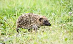 hedgehog (Yvonne Alderson) Tags: hedgehog spines prickles grass run brown
