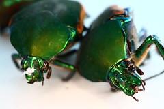 Bugs macro (kmanflickr) Tags: june bug green fig