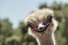 Granja Aventura y Alquzar (8) (Fernando Soguero) Tags: avestruz ostrych avestruzloca crazyostrych granjaaventura barbastro somontano huesca animales animals