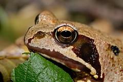 Erdkrte 1 (DianaFE) Tags: krte reptil dianafe schrfentiefe tiefenschrfe makro