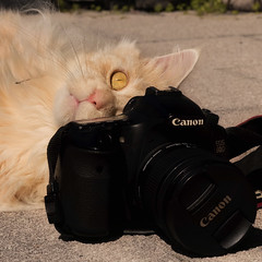 Every cat  needs a camera (FocusPocus Photography) Tags: linus katze kater cat chat gato tier animal haustier pet kamera camera canon