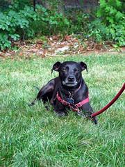 T-Rex (Boneil Photography) Tags: boneilphotography brendanoneil canon powershot g16 pet dog trex