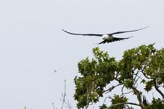 Swallow-tailed Kite - Dragonfly Predation (Michael R Hayes) Tags: swallowtailedkite kite bird predation dragonfly birdsinflight flying flight wildlife nature