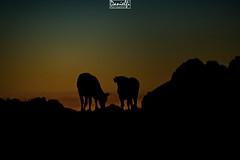 o-cows-o (danielfi) Tags: atardecer ocaso sunset puesta sol silueta silhouette asturias asturies paisaje landscape montaa mountain vacas cows ngc