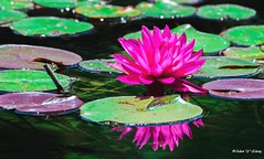Beauty and Its Reflection (Thank you, my friends, Adam!) Tags:   adamzhang  telephoto nikon dslr         lens central florida wildlife macro closeup flower beauty curve fine art photography photographer excellent gallery     garden color colorful colors   beautiful gorgeous waterlily