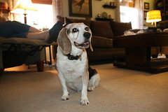 Playing with the New Lens - and Flappy (August 27, 2016) (cseeman) Tags: flappy flapjack beagle dogs pets flappy08272016 saline michigan relaxing resting