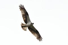 Osprey. (stonefaction) Tags: osprey birds nature wildlife guardbridge fife river eden estuary scotland