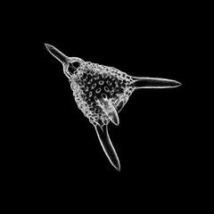 Radiolarian - Lychnocanium ventricosum Ehrenberg (Picturepest) Tags: schwarzweis schwarzweiss sw blackwhite bw blackandwhite monochrome einfarbig twartwit noir radiolarie radiolaria protist protists protisten einzeller unicellular protozoa protozoen protozoe plankton mikroskop mikrofotografie mikrofoto microscop microphotography micro mikro strahlentierchen marine meer salzwasser saltwalter fossile fossil radiolarian schwarzerhintergrund minimalismus minimalism polycystinea