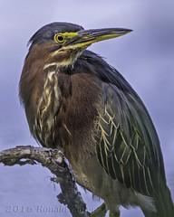 Green Heron IMG_3647 (ronzigler) Tags: green heron bird birdwatcher avian nature sigma 150600mm canon 60d