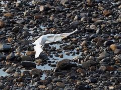 Great egret () (Greg Peterson in Japan) Tags: yasugawa wildlife rivers birds japan shiga egretsandherons deba ritto shigaprefecture jpn