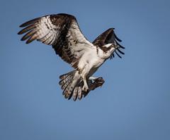 Dinner (kf55) Tags: baby colorado nest grandlake osprey