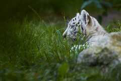 Tigre blanc | White tiger (jordanc_pictures) Tags: animal animals zoo zoodamnville tigre tigreblanc tiger whitetiger