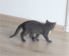 IMG_2512 (murkla_la) Tags: cat russianblue moussie gray graycat