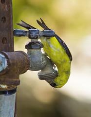 American Goldfinch, male (AllHarts) Tags: maleamericangoldfinch shelbyfarmspark memphistn challengeclubchampions naturescarousel ngc npc