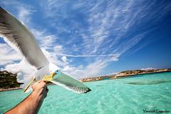 Jonathan le goeland (Chronique d'un chasseur d'images) Tags: goeland oiseau bird mer sea maddalena ocan archipeldelamaddalena archipel italie sardaigne sardegna italy italia piscine naturelles piscinesnaturelle