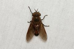 Tabanidae sp. (Horse Fly) - Costa Rica (Nick Dean1) Tags: diptera fly animalia animal arthropoda arthropod hexapoda hexapod insect insecta costarica guanacaste lakearenal arenallodge tabanidae tachinidae