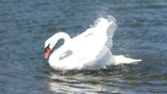 Mute Swan Preening, Esquimalt Lagoon (kellermartha453) Tags: mute swan preening vigorous unusual behavior shore water esquimalt lagoon victoria bc british birders england