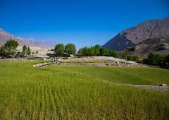 Wheat field on the tajikistan afghanistan border, Badakhshan province, Ishkashim, Afghanistan (Eric Lafforgue) Tags: afghan025 afghanistan agriculture badakhshanprovince border centralasia colourimage copyspace eshkashem field green horizontal ishkashem ishkashim nopeople nobody outdoors pamir photography ruralscene tranquilscene wakhan