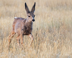 Can you hear me now?? (mLichy911) Tags: mule deer young cute baby animal wild wildlife nature wyoming montana yellowstone fall ears funny 7dmarkii sigma 150600 handheld morning sunrise