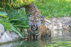 Nelson and Cathy (ToddLahman) Tags: nelson cathy joanne teddy sandiegozoosafaripark safaripark sumatrantiger babysumatrantiger canon7dmkii canon canon100400 tigers tiger tigertrail tigercub escondido